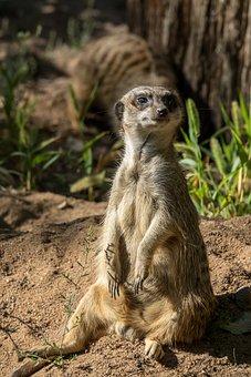 Meerkat, Animal, Nature, Mammal, Fur, Attention