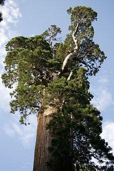 California, Sequoia, Nature, Environment, Tree, Woods