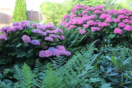 Hydrangeas, Plant, Flowers