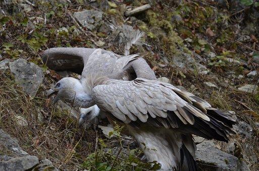 Vulture, Bird, Scavengers, Plumage, Bill, Feather