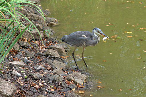 Heron, Grey Heron, Fish, Water, Pond, Fishing, Hunt