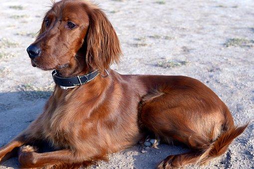 Dog, Irish Setter, Dogs, Red