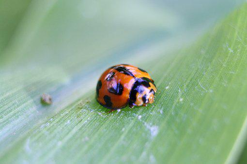 Ladybird, Orange, Red, Black, Spots, Insect, Leaf