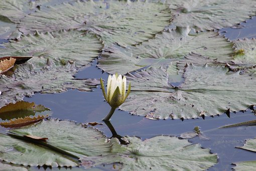 Water Lily, Flower, Sheet, Plant, Pond, Nature