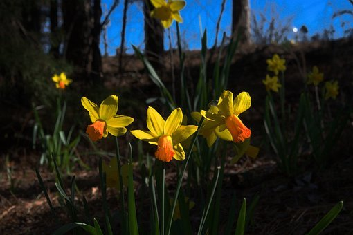 Backlit Daffodils In Arkansas, Daffodil, Spring, Garden