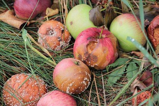 Apple, Rot, Mold, Bad, Fruit, Autumn, Tree, Garden