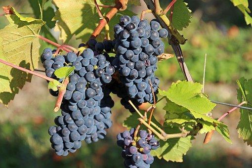 Grapes, Vines, Wine, Vineyard, Winemaker, Vintage