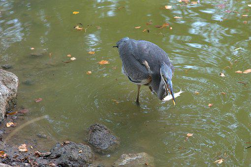 Heron, Fish, Grey Heron, Hunt, Bird, Nature, Water