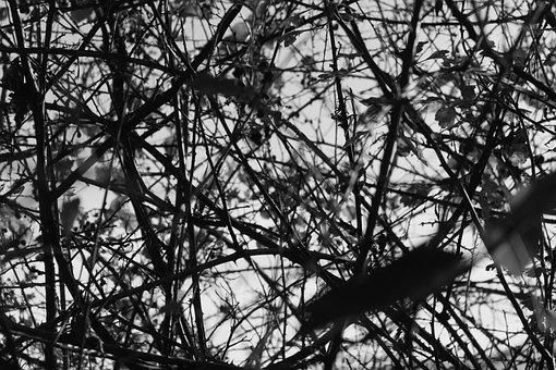 Thorns, Black White, Plant, Black, White, Nature