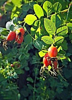 Rose Hip, Plant, Bush, Wild Rose, Fruits, Seeds, Autumn