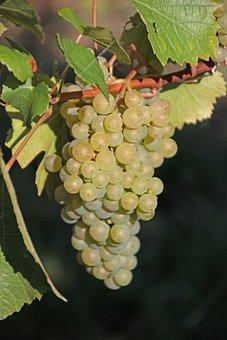 Grapes, Read, Vine, Vineyard, Wine, Winegrowing, Autumn