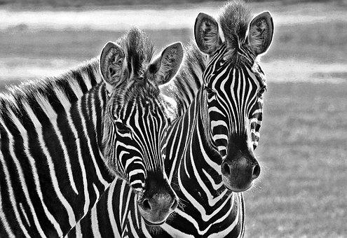 Nature, Zebra, Africa, Wildlife, Mammal, Striped