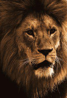 Lion, Predator, Animal, Animal World, Africa, Big Cat