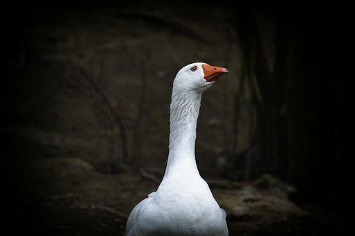 Goose, White, Blue Eye, Bird, Nature, Animal World