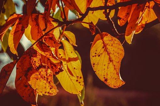 Leaves, Leaf, Fall Color, Autumn Light, Backlighting