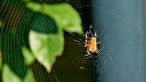Spin, Garden Spider, Back, Web, Autumn, Sun, Bug