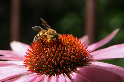 Bee, Bees, Wing, Echinacea, Stamens, Blossom, Bloom