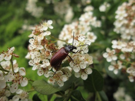 Insect, Bug, Flower, Beetle, Omophlus, Omophlus Proteus