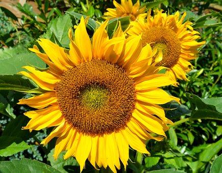 Sunflower, Blossom, Bloom, Closeups, Late Summer