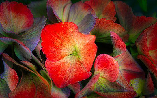 Hydrangea, Flowers, Colorful, Bright, Background