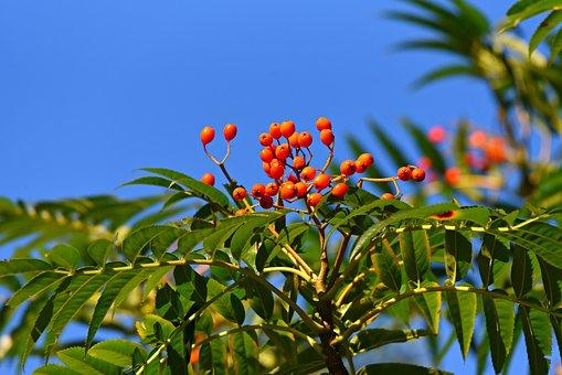 Rowan, Berry, Fruit, Food, Sorbus, Bush, Tree, Branch