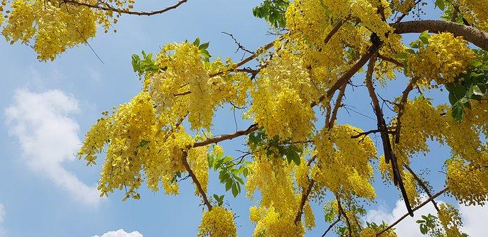 Cassia Fistula, Summer, Yellow, Blue Day