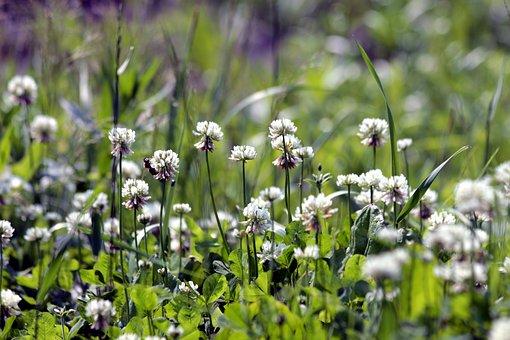 Clover, Bloom, White Clover, Grass, Summer, Nature