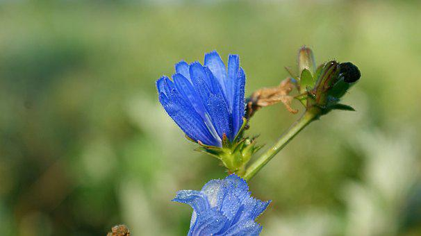 Blue Flower, Bellflower, Dew, Drops, Field Flowers