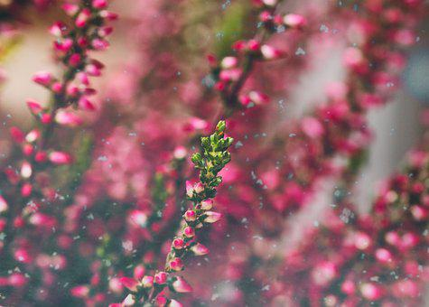 Heide, Heather, Erika, Close Up, Pink, Autumn, Flowers