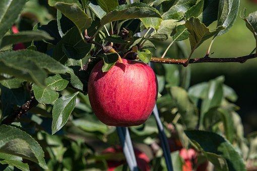 Apple, Fruit, Fruit Tree, Red, Kernobstgewaechs, Food