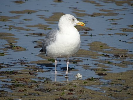 Seagull, Gull, Sea, Nature, Beach, Birds
