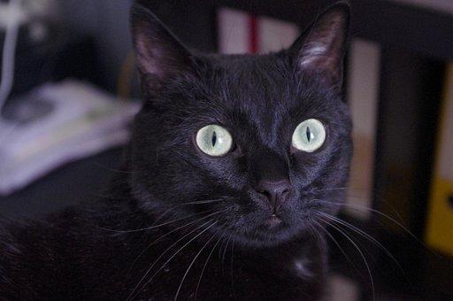 Black Cat, Head, Cat, Black, Eyes