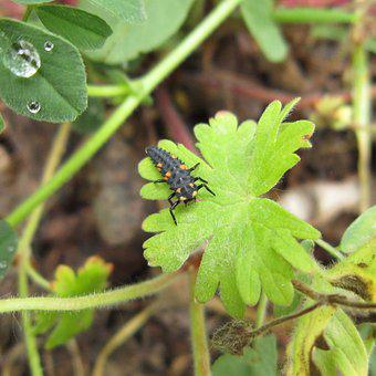 Ladybug, Larvae, Insect, Bug, The Bodice, Animal