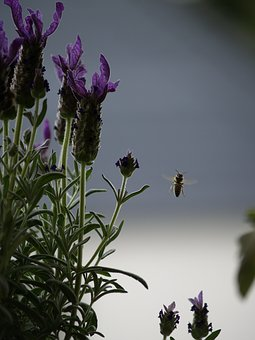 Bee, In Flight, Lavender