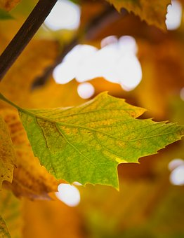 Sycamore, Leaf, Background, Autumn, Golden Yellow