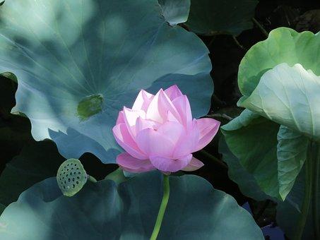 Lotus, Pink, Green, Light, Shadow, Summer