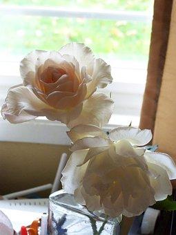 Rose, Backlit, Ivory, Peach, Romantic, Love, Blooming
