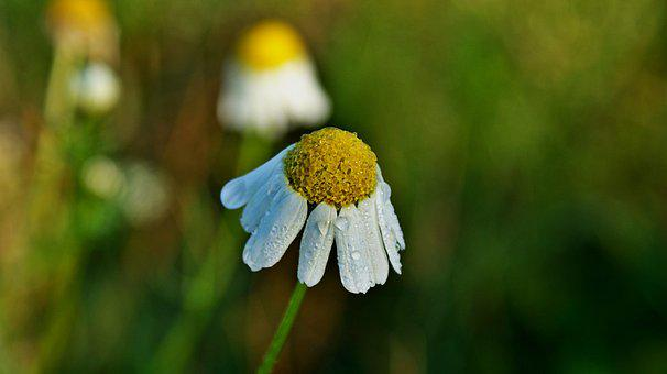 Chamomile, Flower, Nature, Meadow, Flora, Vegetable