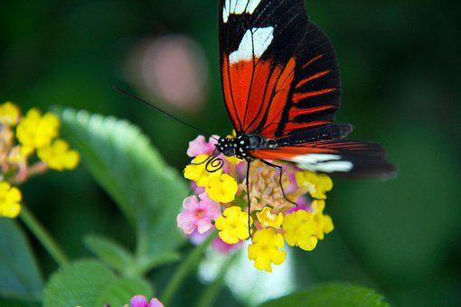 Butterfly, Flowers, Nature, Insect, Animal, Bloom