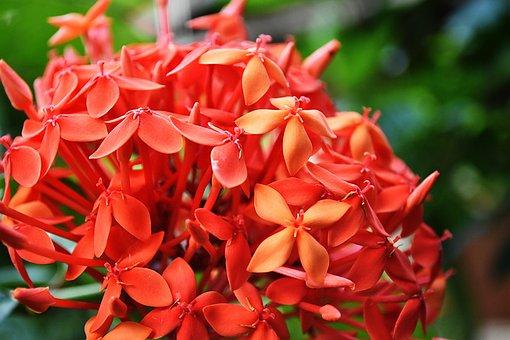 Santan, Nature, Petals, Wild, Blossoms, Flowers