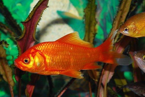 Goldfish, Red Fish, Orange, Aquarium