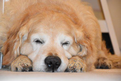 Sleeping Dog, Golden Retriever, Dog, Sleep, Cute, Pets