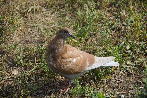 Pigeon, Dove, Bird, Brown Dove