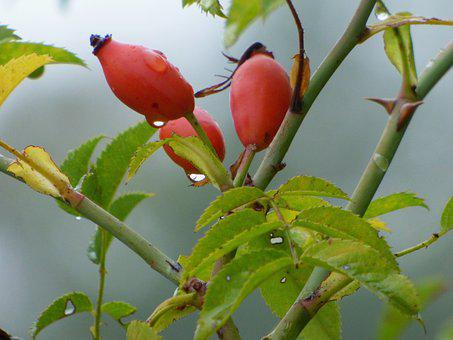 églantines, Fruit, Nature, Red, Berries, Rose Hips