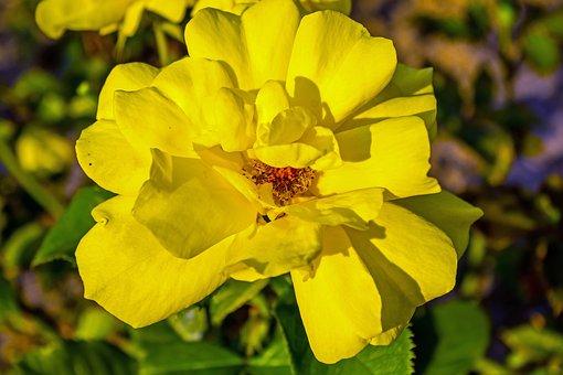 Rose, Evening Light, Summer, Roses, Plant, Flower