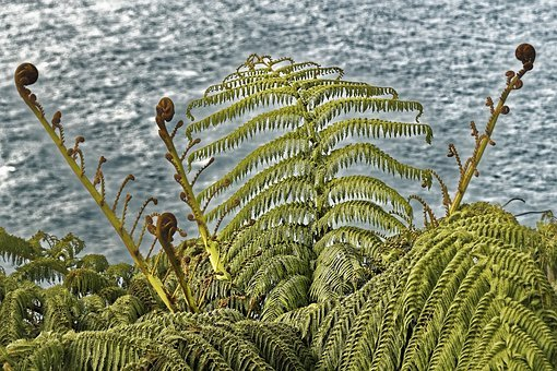 Silver Fern, Fern, Flora, Nature, New Zealand