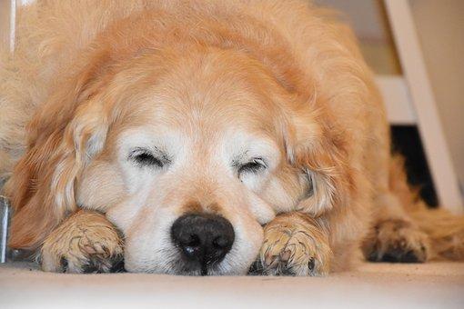 Sleeping Dog, Golden Retriever, Dog, Sleep, Cute, Pets