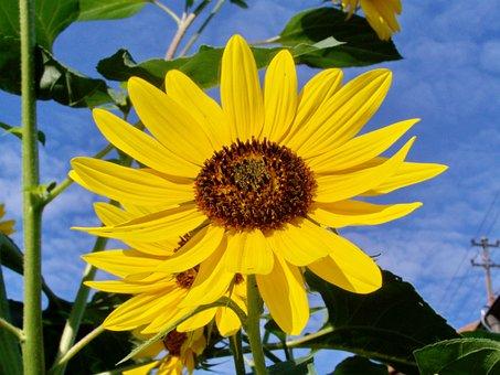 Sunflower Garden, Yellow Flower, Summer Flower