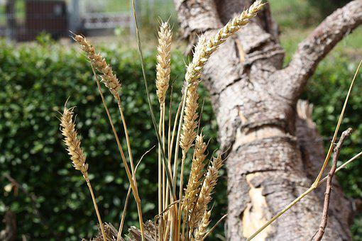 Cereals, Grain, Summer, Nature, Wheat