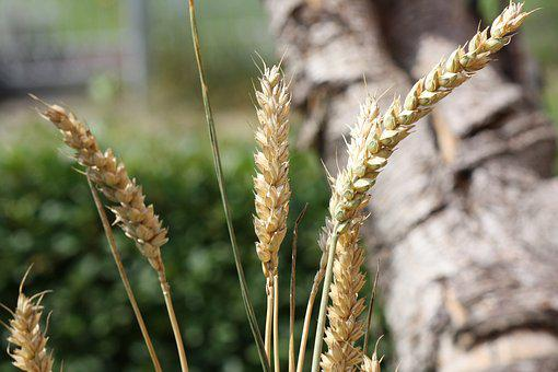 Cereals, Grain, Summer, Nature, Wheat, Root, Spike, Ear